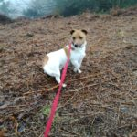 Toffee being walked with dog walker Shropshire