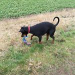 Doberman pinscher playing in the fields near Overton, shropshire