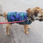 Basil the dog border terrier