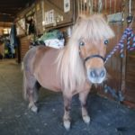 Devi the shetland pony by Mere Mutts dog walking and animal care services