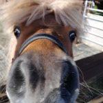 Devi the shetland pony