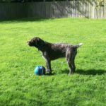 Ella the German wirehaired pointer
