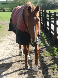 Connor the horse coming in from his field