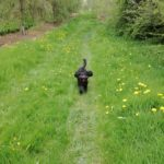 Minnie the cockerpoo dog with Mere Mutts dog walking service