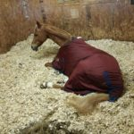 Moonshine the horse taking a nap