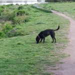 Truffle the labrador being walked at Colemere by Mere Mutts dog walking service