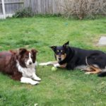 Sam and Holly collie dogs in garden